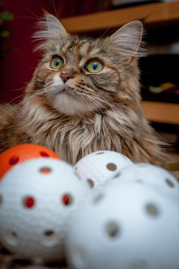 Πορτρέτο της γάτας του Μαίην Coon με τα μπαλόνια Florball στοκ φωτογραφία