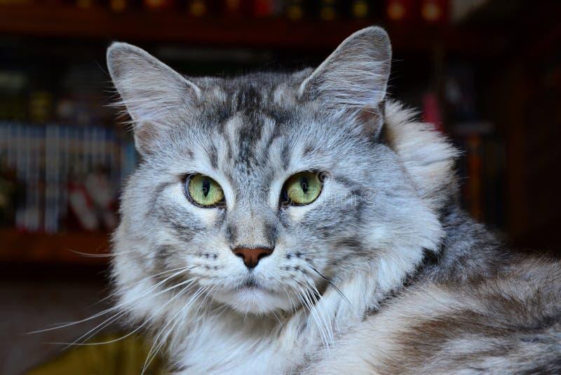 Πορτρέτο της γάτας του Maine coon που εξετάζει άμεσα τη κάμερα στοκ φωτογραφία με δικαίωμα ελεύθερης χρήσης