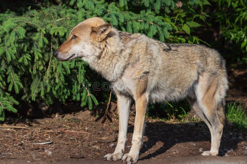 Πορτρέτο της γκρίζας κινηματογράφησης σε πρώτο πλάνο λύκων στοκ εικόνες