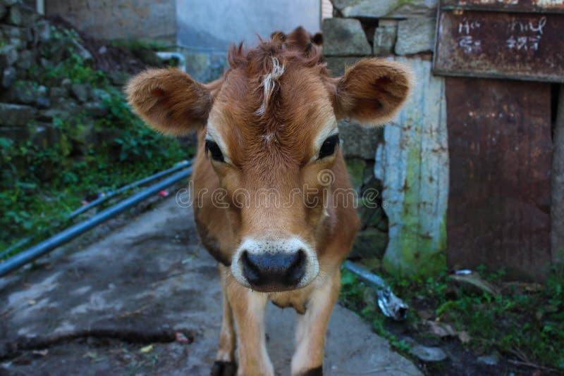 Πορτρέτο της ινδικής αγελάδας, μόσχος στοκ εικόνες με δικαίωμα ελεύθερης χρήσης