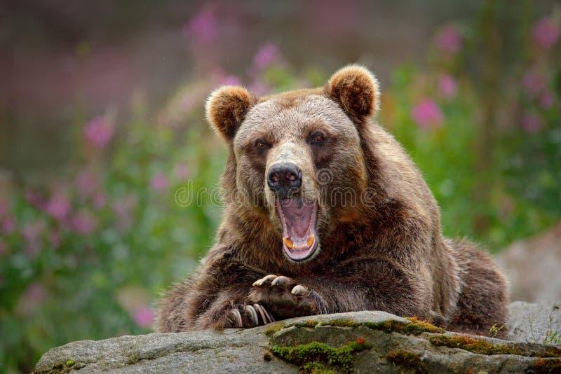 Πορτρέτο της καφετιάς αρκούδας, που κάθεται στην γκρίζα πέτρα, ρόδινα λουλούδια στο υπόβαθρο Ζώο κινδύνου στο βιότοπο φύσης, Σουη στοκ φωτογραφία με δικαίωμα ελεύθερης χρήσης