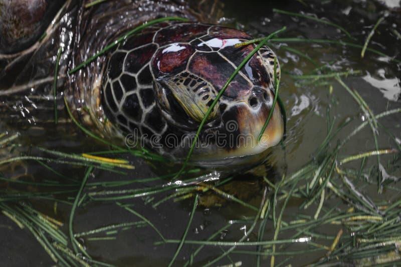 Πορτρέτο της καφετιάς επικεφαλής κολύμβησης χελωνών θάλασσας στη λίμνη νερού και της κατανάλωσης της ωκεάνιας χλόης στο Μπαλί, Ιν στοκ φωτογραφία