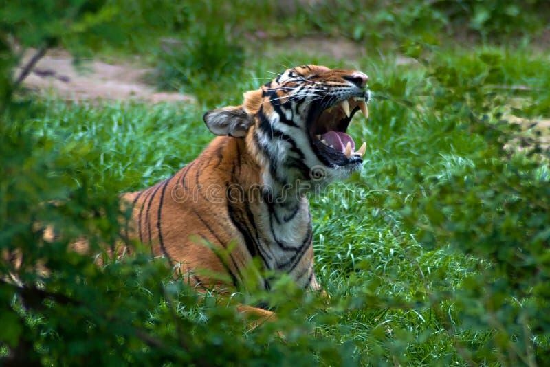 Πορτρέτο της της Μαλαισίας τίγρης στοκ εικόνες με δικαίωμα ελεύθερης χρήσης