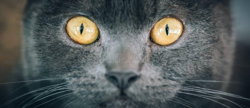 Πορτρέτο της ριγωτής γάτας με τα όμορφα ηλέκτρινα μάτια στοκ φωτογραφίες με δικαίωμα ελεύθερης χρήσης
