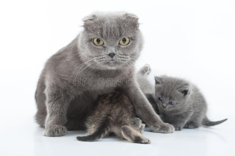 Πορτρέτο της σκωτσέζικης οικογένειας γατών πτυχών στοκ εικόνες