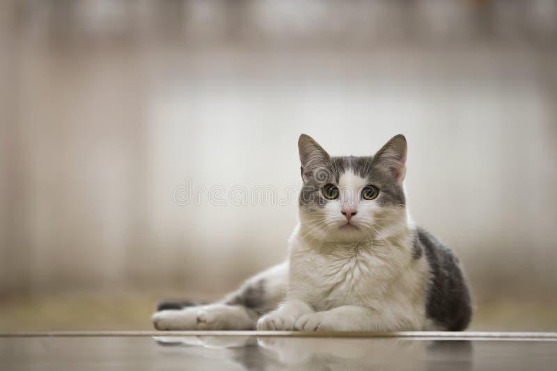 Πορτρέτο της συμπαθητικής άσπρης και γκρίζας εσωτερικής γάτας με τη μεγάλη στρογγυλή πράσινη τοποθέτηση ματιών που χαλαρώνουν υπα στοκ φωτογραφίες