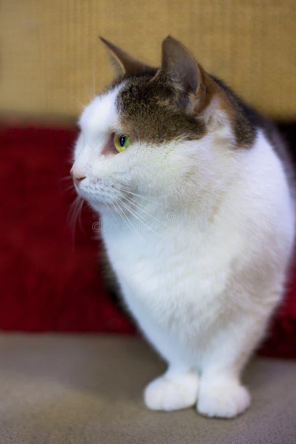 Πορτρέτο της συνεδρίασης γατών munchkin στοκ φωτογραφίες