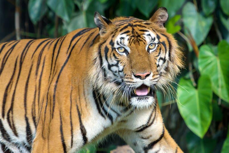 Πορτρέτο της τίγρης στοκ εικόνα