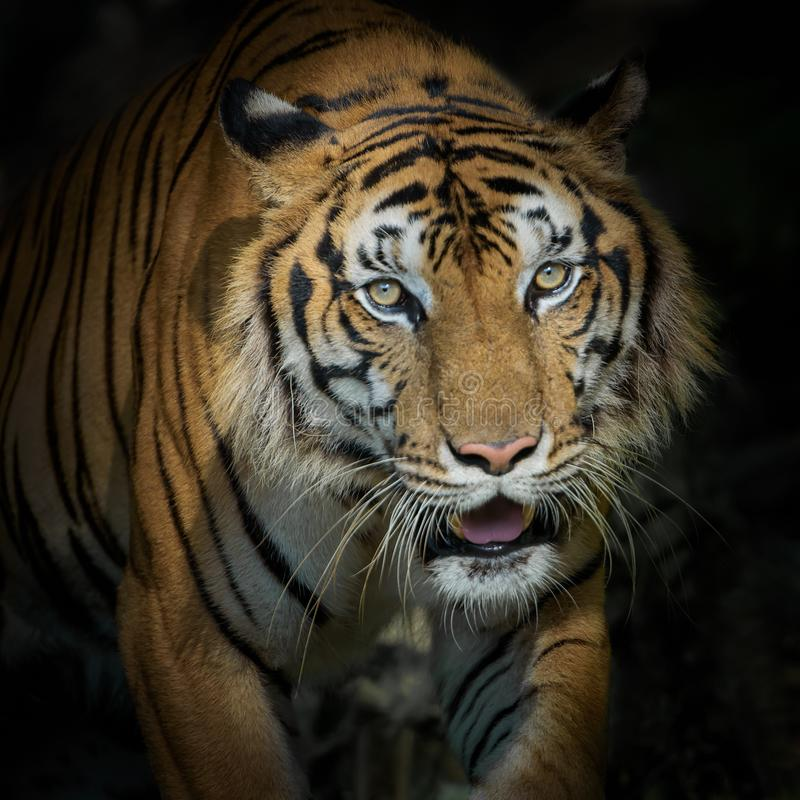 Πορτρέτο της τίγρης στοκ φωτογραφίες