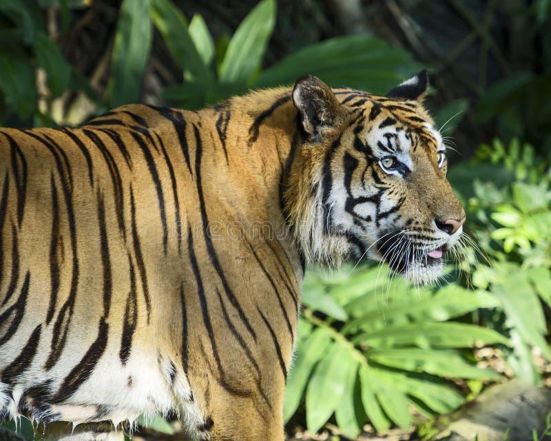 Πορτρέτο της τίγρης στοκ φωτογραφία με δικαίωμα ελεύθερης χρήσης