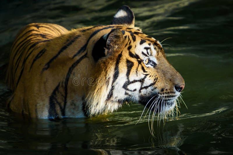 Πορτρέτο της τίγρης στοκ φωτογραφίες με δικαίωμα ελεύθερης χρήσης