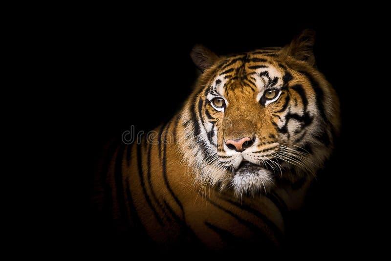 Πορτρέτο της τίγρης στοκ φωτογραφία