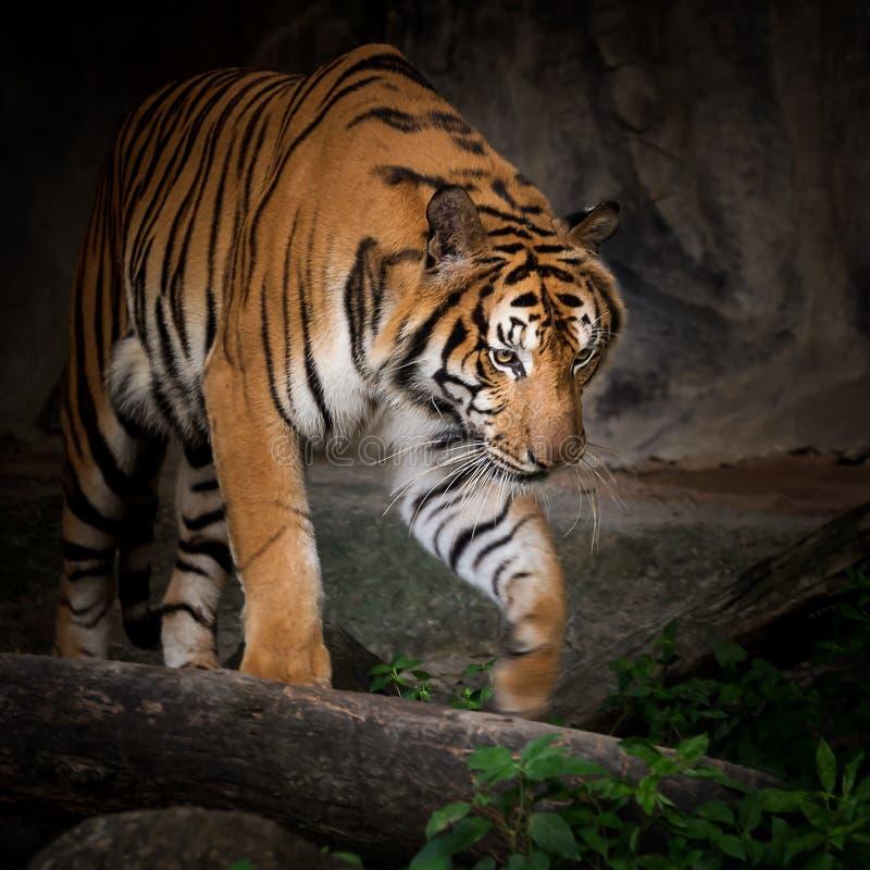Πορτρέτο της τίγρης στοκ εικόνες