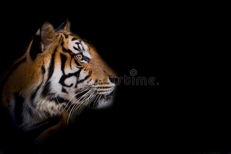 Πορτρέτο της τίγρης στοκ εικόνα με δικαίωμα ελεύθερης χρήσης