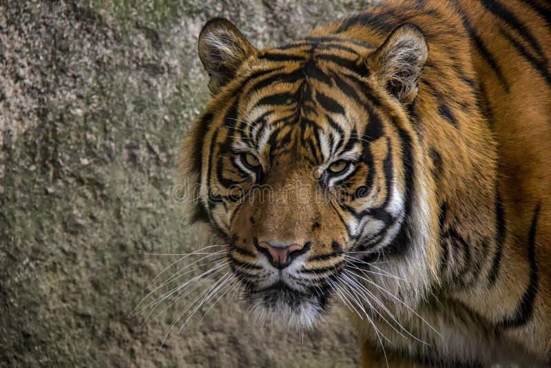 Πορτρέτο της τίγρης sumatran στοκ εικόνα με δικαίωμα ελεύθερης χρήσης