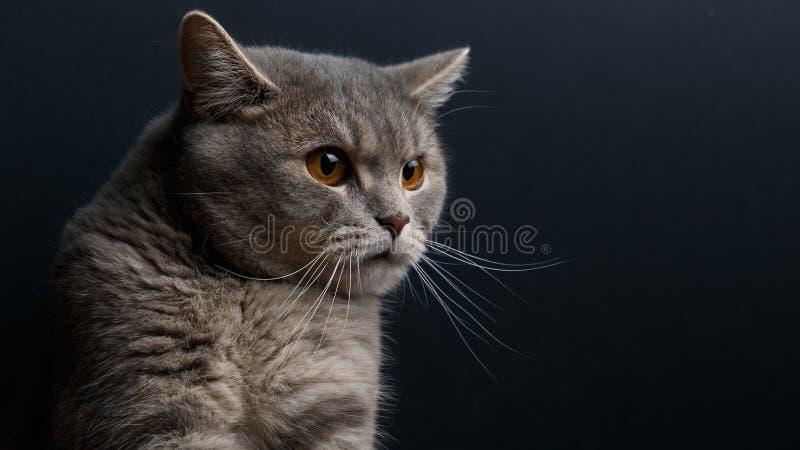 Πορτρέτο της χαριτωμένης γάτας σκωτσέζικα κατ' ευθείαν στο στούντιο στοκ φωτογραφία με δικαίωμα ελεύθερης χρήσης