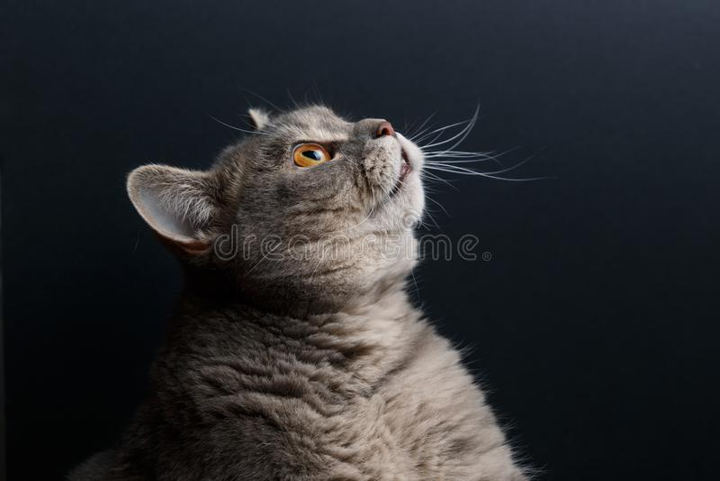 Πορτρέτο της χαριτωμένης γάτας σκωτσέζικα κατ' ευθείαν στο στούντιο με το σκοτεινό υπόβαθρο r στοκ φωτογραφίες