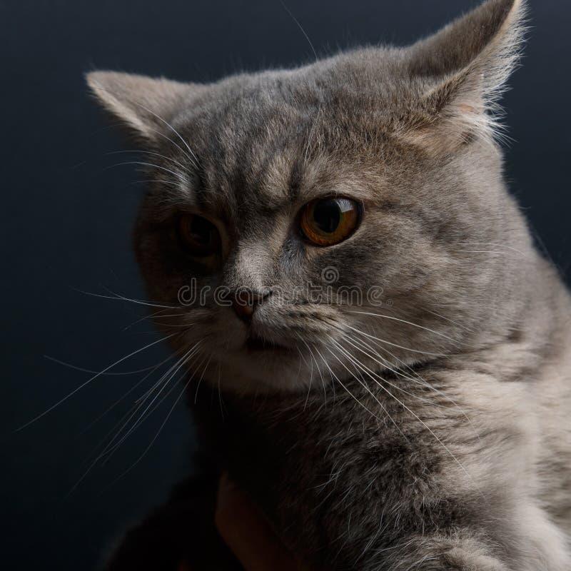 Πορτρέτο της χαριτωμένης γάτας σκωτσέζικα κατ' ευθείαν στο στούντιο με το σκοτεινό υπόβαθρο στοκ φωτογραφία με δικαίωμα ελεύθερης χρήσης