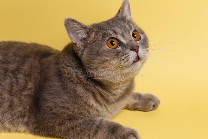 Πορτρέτο της χαριτωμένης γάτας σκωτσέζικα κατ' ευθείαν στο στούντιο με το κίτρινο υπόβαθρο στοκ εικόνες