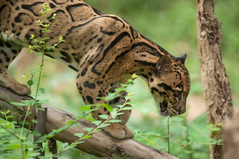 Πορτρέτο της όμορφης καλυμμένης λεοπάρδαλης στοκ εικόνες