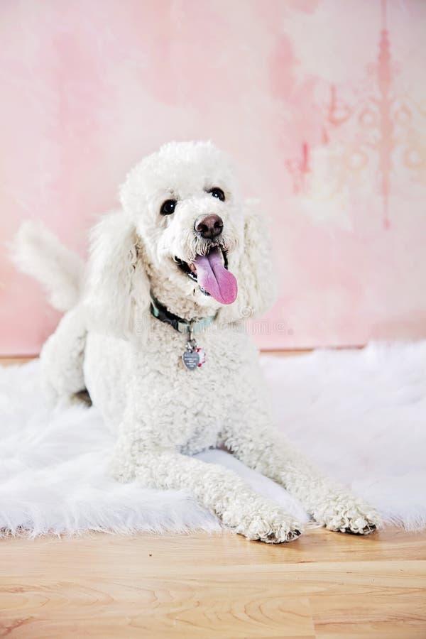 Πορτρέτο της Pet στοκ εικόνες