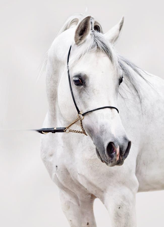 Πορτρέτο του άσπρου αραβικού αλόγου στο γκρίζο υπόβαθρο στοκ εικόνες