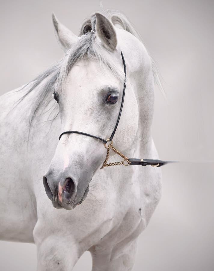 Πορτρέτο του άσπρου αραβικού αλόγου στο γκρίζο υπόβαθρο στοκ φωτογραφίες