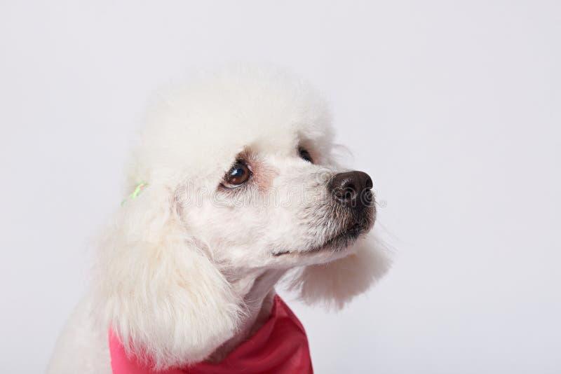 Πορτρέτο του άσπρου λυπημένου σκυλιού στοκ φωτογραφία με δικαίωμα ελεύθερης χρήσης