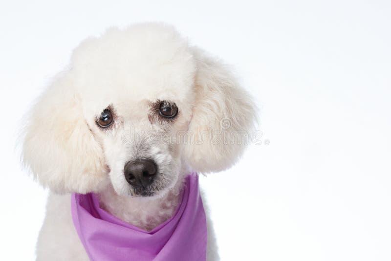 Πορτρέτο του άσπρου poodle σκυλιού στοκ φωτογραφία