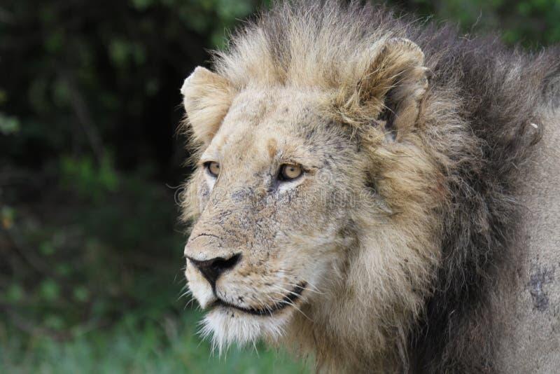 Πορτρέτο του αρσενικού λιονταριού στοκ εικόνες με δικαίωμα ελεύθερης χρήσης