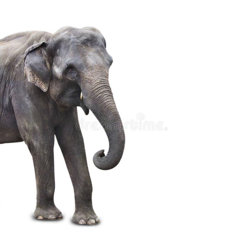 Πορτρέτο του αφρικανικού ελέφαντα που απομονώνεται στην άσπρη κινηματογράφηση σε πρώτο πλάνο υποβάθρου στοκ εικόνες με δικαίωμα ελεύθερης χρήσης