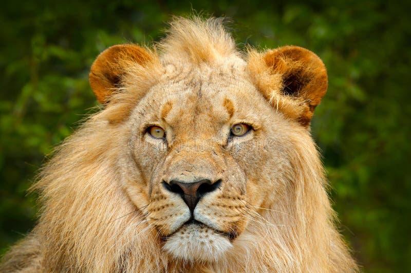 Πορτρέτο του αφρικανικού λιονταριού, leo Panthera, λεπτομέρεια του μεγάλου ζώου, που εξισώνει τον ήλιο, εθνικό πάρκο Chobe, Μποτσ στοκ φωτογραφίες