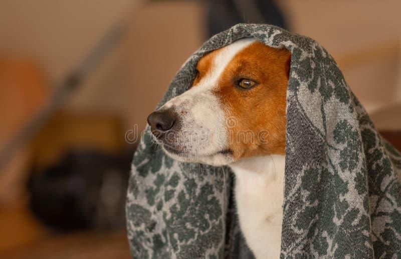 Πορτρέτο του βασιλικού κρυψίματος σκυλιών basenji κάτω από το coverlet στοκ εικόνα