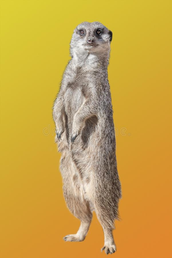 Πορτρέτο του εύθυμου και περίεργου suricate meerkat που απομονώνεται στο ζωηρόχρωμο υπόβαθρο κλίσης στοκ εικόνες
