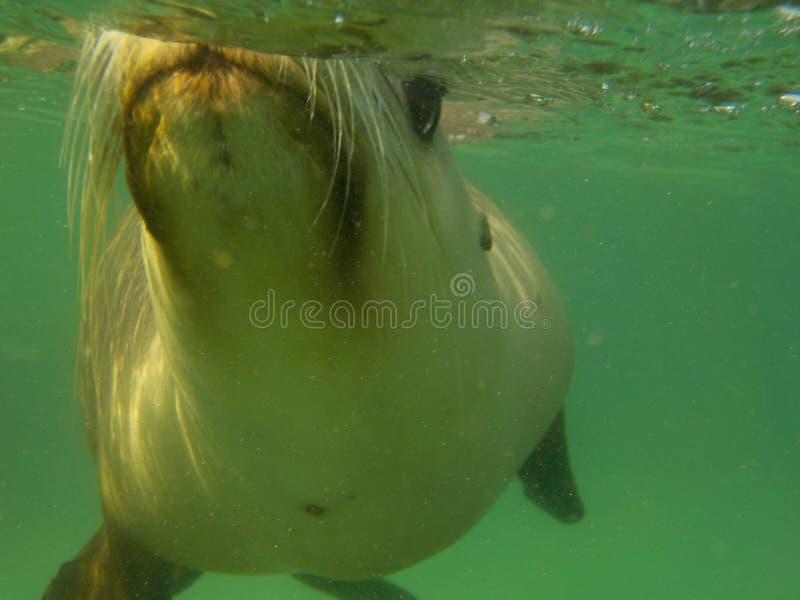 Πορτρέτο του λιονταριού θάλασσας στοκ εικόνες