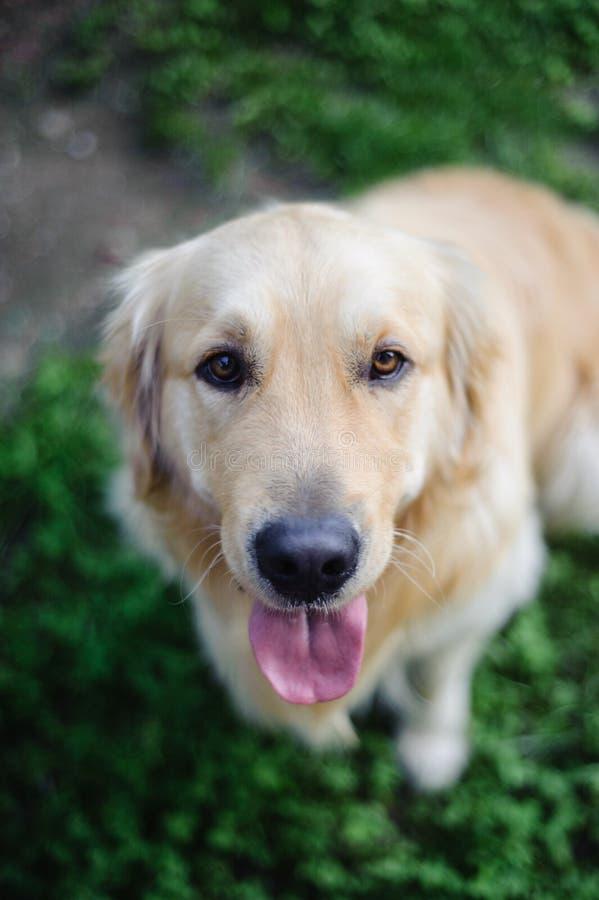 πορτρέτο του καθαρής φυλής χρυσού retriever σκυλιού στον κήπο ενώ lookin στοκ εικόνες