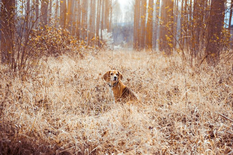 Πορτρέτο του καθαρού σκυλιού λαγωνικών φυλής Λαγωνικό στη μέση του τομέα με τα ξηρά άχυρα στο υπόβαθρο άνοιξη στοκ εικόνα