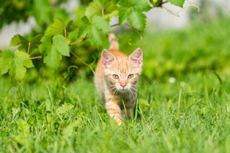 Πορτρέτο του λατρευτού κόκκινου ριγωτού περιπάτου γατακιών μέσω της χλόης στοκ εικόνα