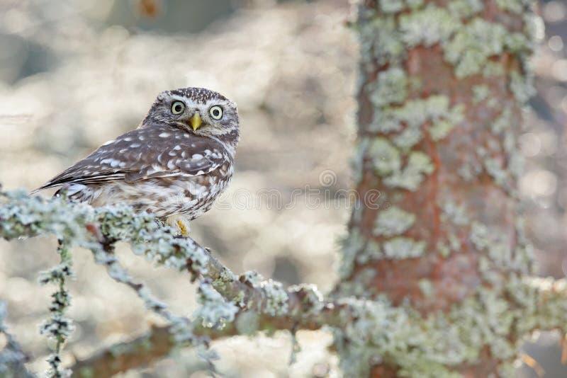 Πορτρέτο του μικρού πουλιού στο βιότοπο φύσης, Δημοκρατία της Τσεχίας Σκηνή άγριας φύσης από τη φύση Πτώση χιονιού στη δασική χει στοκ εικόνες