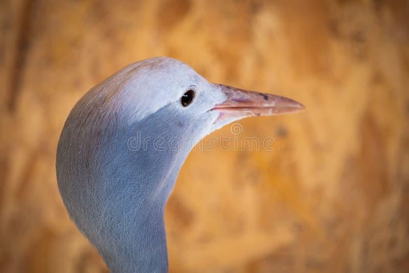 Πορτρέτο του παραδείσου Anthropoides ή του μπλε γερανού, επίσης γνωστό ο Stanley ή ο γερανός παραδείσου στοκ εικόνα