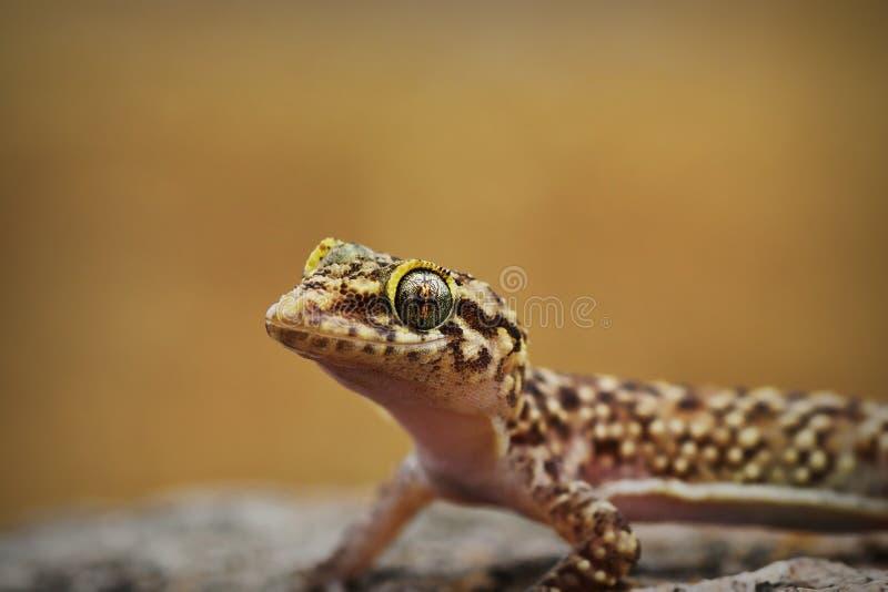 Πορτρέτο του περίεργου μεσογειακού gecko σπιτιών στοκ φωτογραφίες