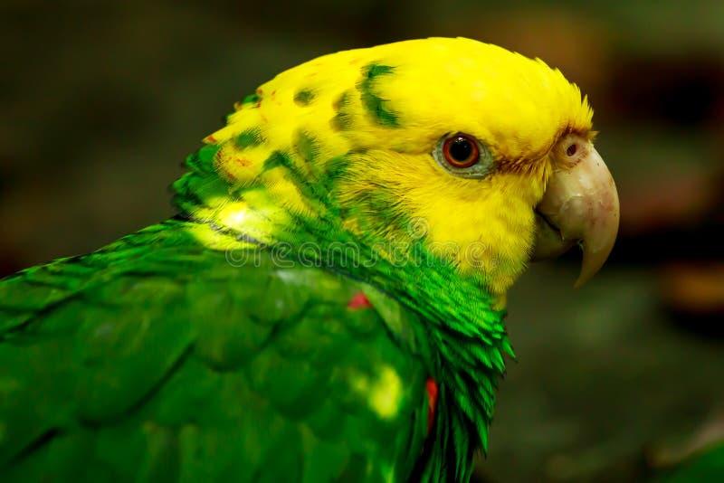 Πορτρέτο του πορτρέτου του κίτρινος-διευθυνμένου παπαγάλου του Αμαζονίου στοκ εικόνες