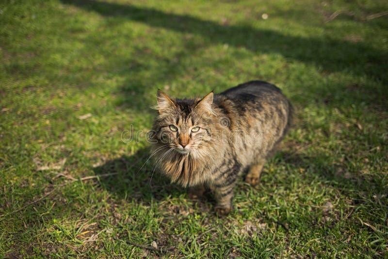 Πορτρέτο του προσώπου της όμορφης καφετιάς γάτας στοκ φωτογραφία