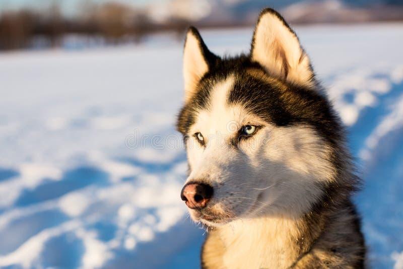 Πορτρέτο του σιβηρικού γεροδεμένου γραπτού χρώματος σκυλιών με τα μπλε μάτια το χειμώνα στοκ φωτογραφία με δικαίωμα ελεύθερης χρήσης