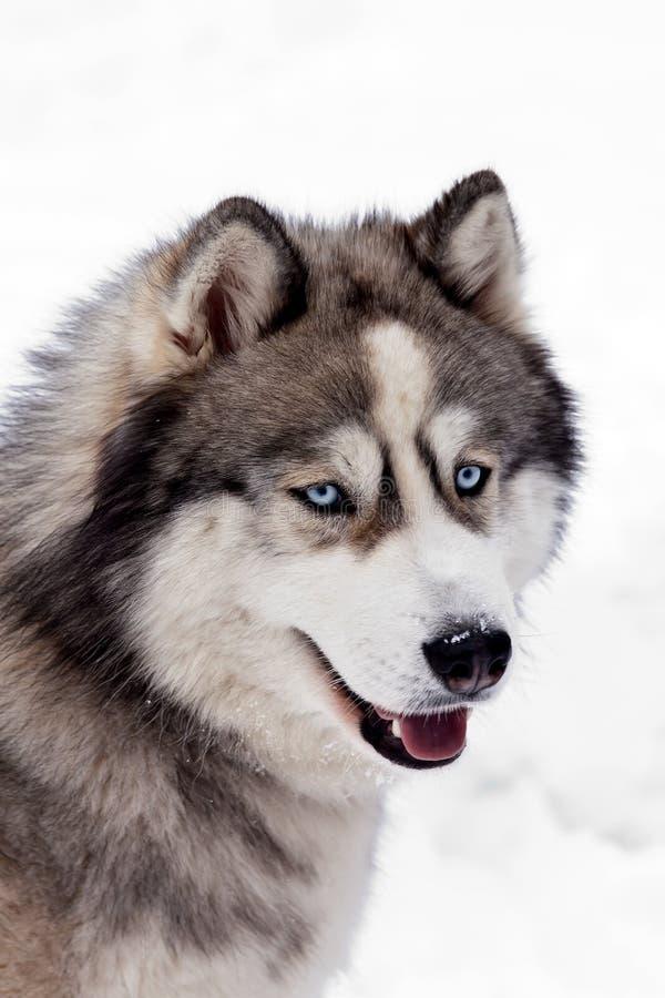 Σιβηρικό γεροδεμένο σκυλί στοκ φωτογραφία