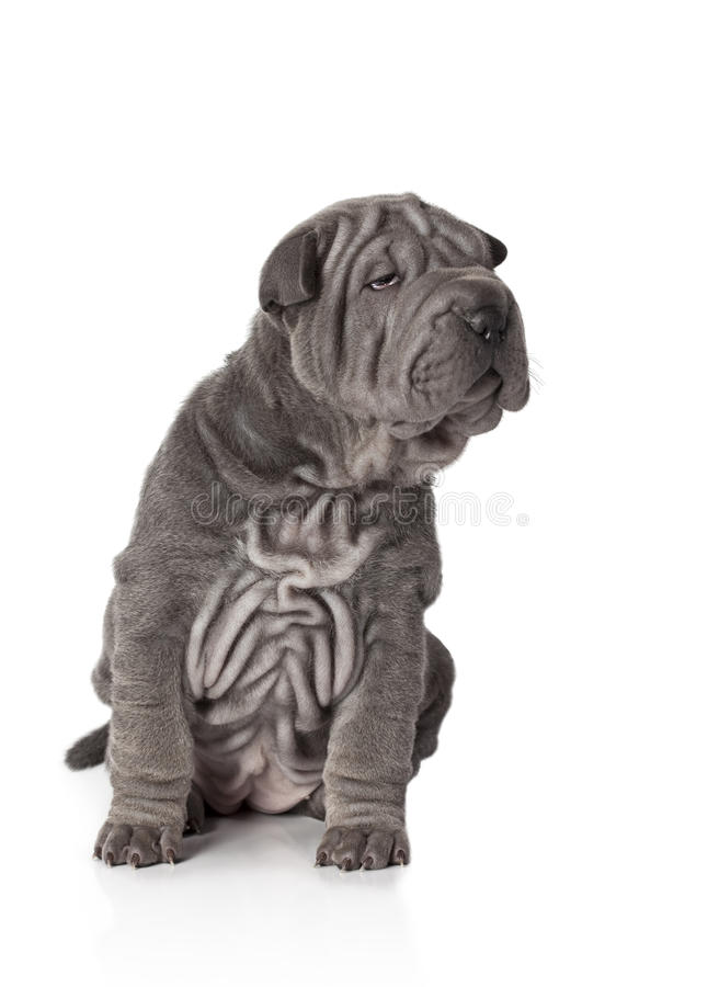 Πορτρέτο του σκυλιού κουταβιών sharpei στοκ φωτογραφία με δικαίωμα ελεύθερης χρήσης