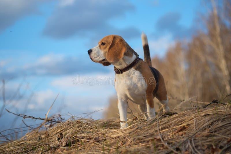 Πορτρέτο του σκυλιού λαγωνικών στο δάσος στοκ φωτογραφία με δικαίωμα ελεύθερης χρήσης