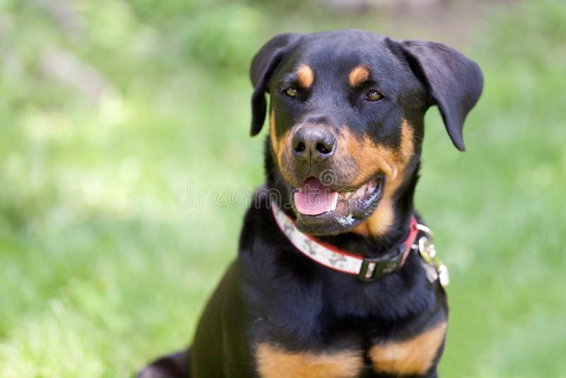 Πορτρέτο του σκυλιού Rottweiler που φαίνεται δικαίωμα καμερών στοκ εικόνες