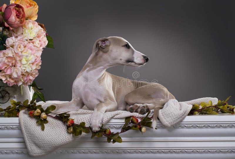 Πορτρέτο του σκυλιού Whippet στοκ φωτογραφίες