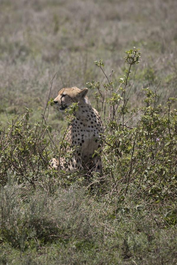 Πορτρέτο του σχεδιαγράμματος τσιτάχ, Serengeti, Τανζανία στοκ φωτογραφίες με δικαίωμα ελεύθερης χρήσης